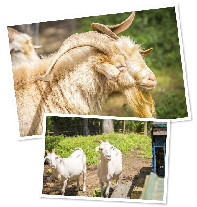 Purebred Kiko Goats in North Carolina