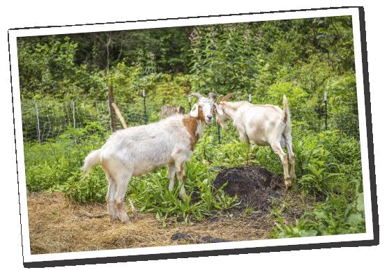 North Carolina Kiko Goat Breeders