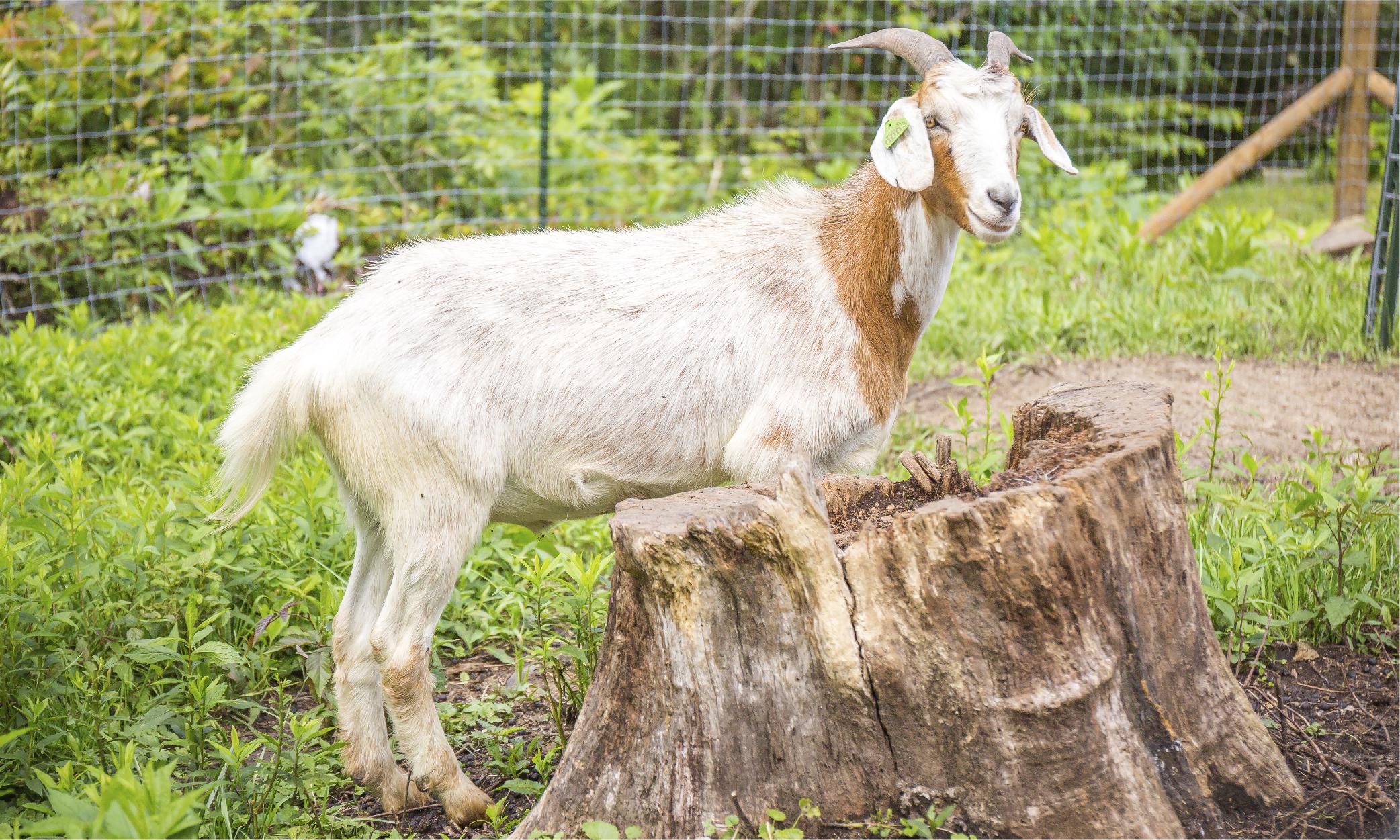 Cedar Springs Farm Kiko Goats North Carolina-01