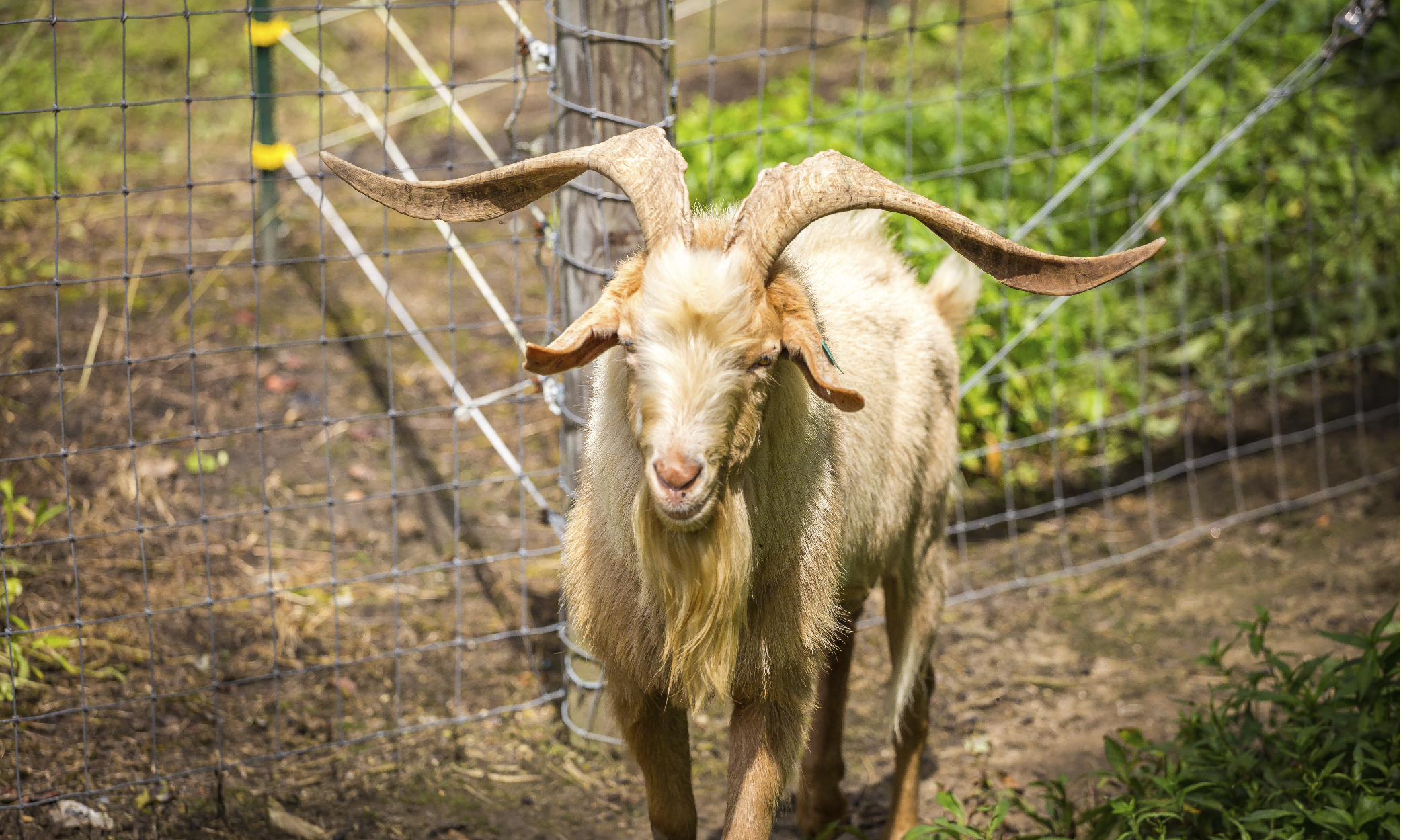 Cedar Springs Farm Kiko Goats North Carolina-02